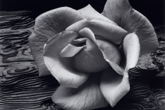 Rose-and-Driftwood-1617x1260